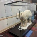Großvitrine für einen Polarbären in den USA